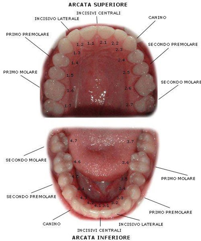 diagramma_denti_permanenti.jpg